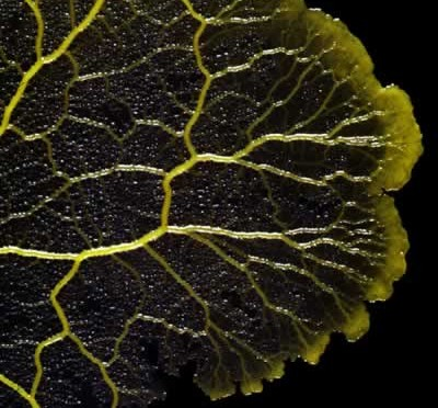 Слизевик(Mycetozoa)